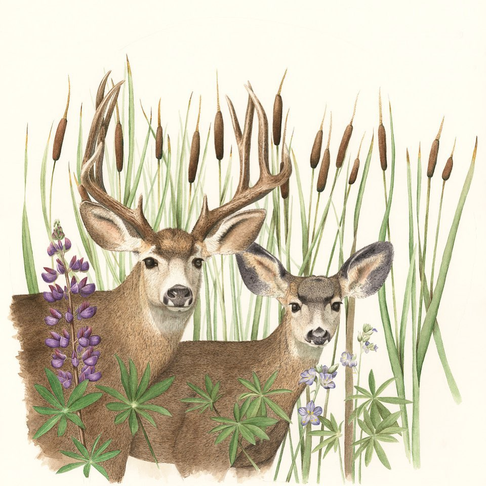 Sherwood_Mule Deer and Cattails
